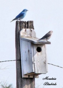 MT bluebirds (2)